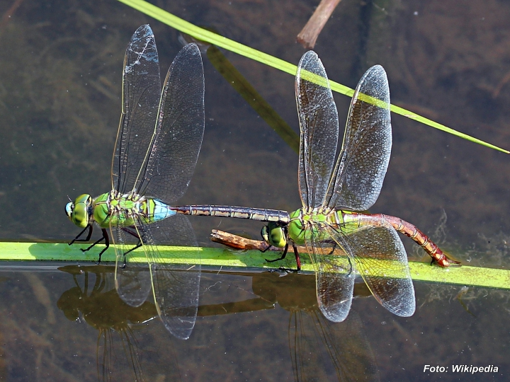Anax parthenope male and female